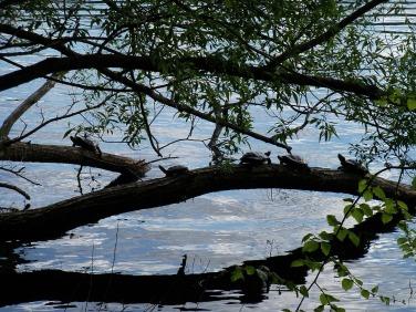 turtles on Jamaica Pond (May 2014)