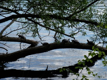 turtles on Jamaica Pond (May 2014)